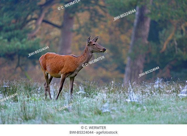 red deer (Cervus elaphus), hind grazing in the morning, Germany