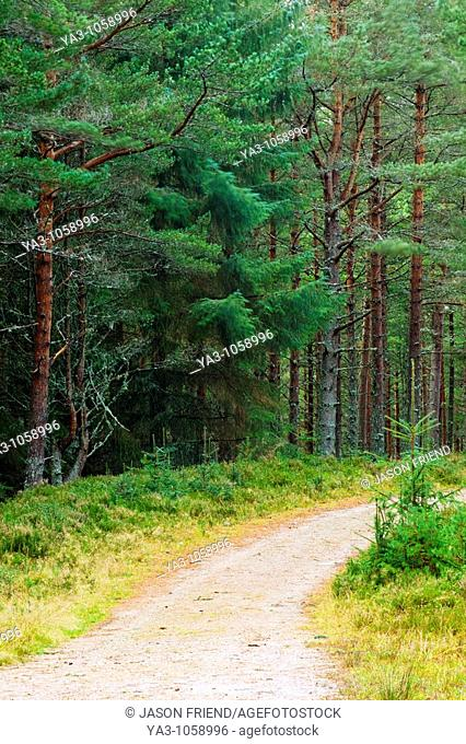 Scotland, Scottish Highlands, Cairngorms National Park  Forestry commission track running through the Glenmore Forest Park