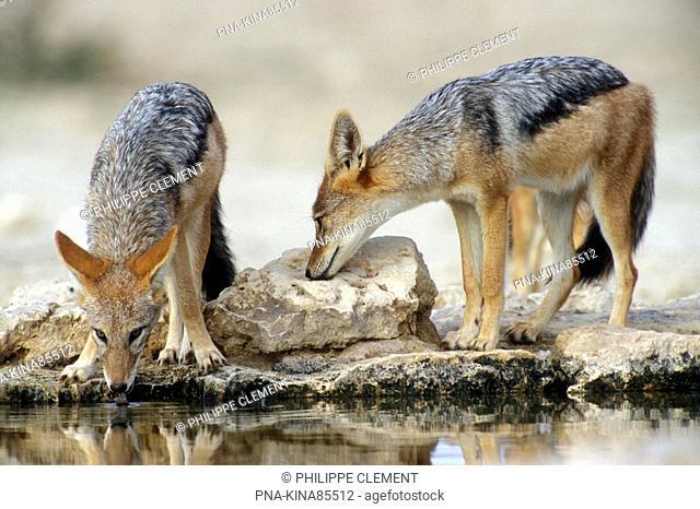 black-backed jackal Canis mesomelas - Kgalagadi Transfrontier Park, Kalahari Desert, South Africa, Africa