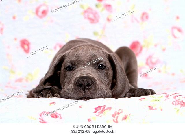 Great Dane. Puppy (7 weeks old) lying on a blue blanket with rose flower print. Germany