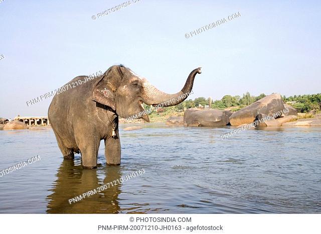Elephant standing in a river, Hampi, Karnataka, India