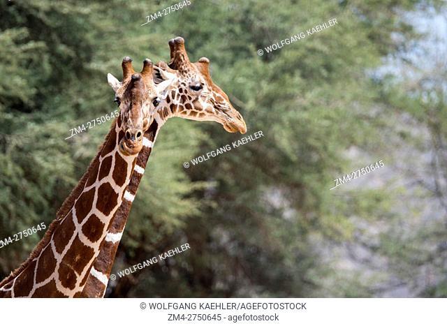 Portrait of reticulated giraffes (Giraffa reticulata) in Samburu National Reserve in Kenya