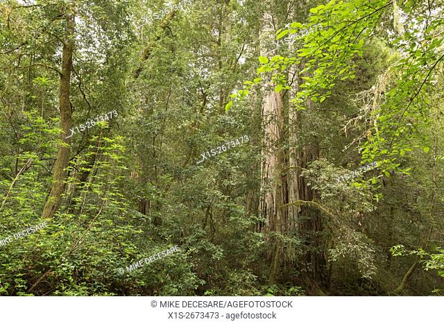 Ancient coast redwoods are native to California