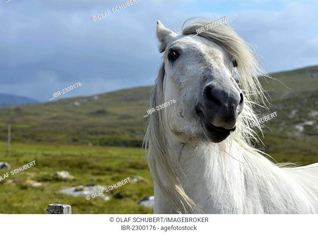 White horse with a flowing mane, Sutherland, Scottish Highlands, Scotland, United Kingdom, Europe