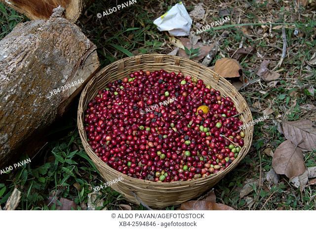 Coffee harvesting, Wayanad, Kerala, India