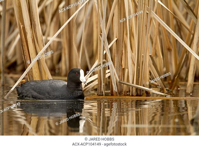American Coot, swimming in a marsh, Great Basin Desert Tour, British Columbia, Canada
