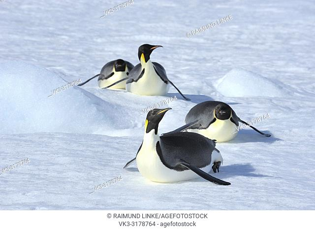 Emperor penguins, Aptenodytes forsteri, Adult Slip on the Abdomen over the Ice, Snow Hill Island, Antartic Peninsula, Antarctica