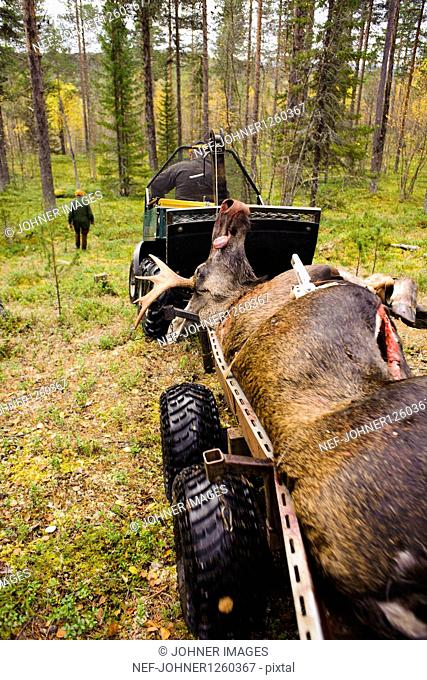 Dead elk on cart