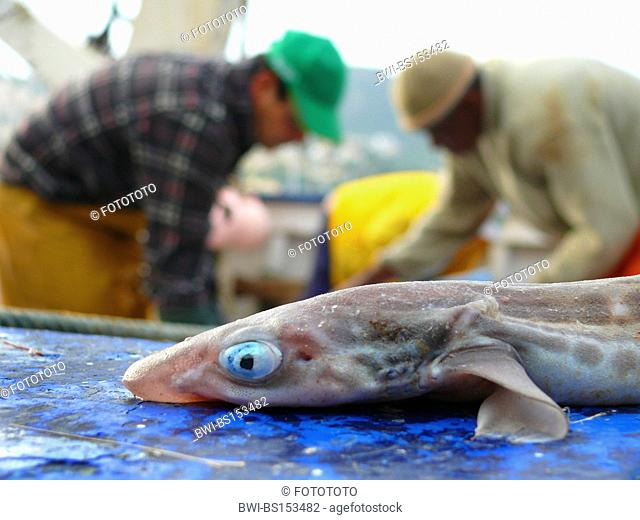 lesser spotted dogfish, smallspotted dogfish, rough hound, smallspotted catshark (Scyliorhinus canicula, Scyllium canicula)