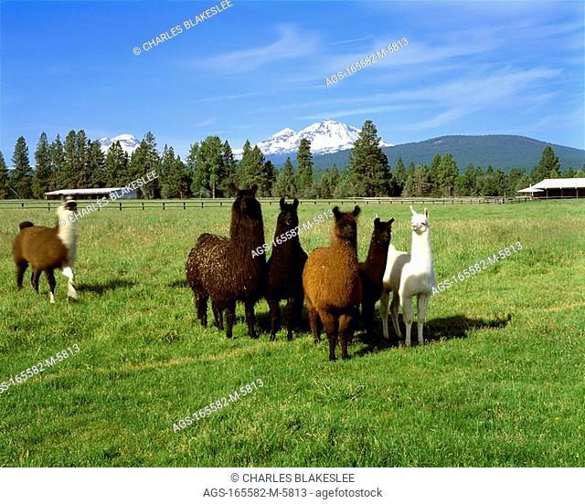 Agriculture - Herd of llamas on a green pasture with the snowcapped Three Sisters in the background / OR - Deschutes County