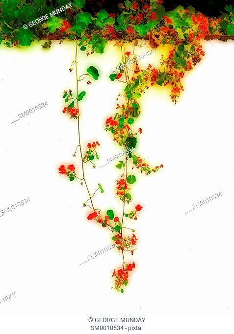Nasturtiums hanging down a wall