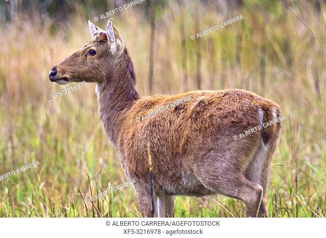 Swamp Deer, Rucervus duvaucelii, Barasingha, Royal Bardia National Park, Bardiya National Park, Nepal, Asia