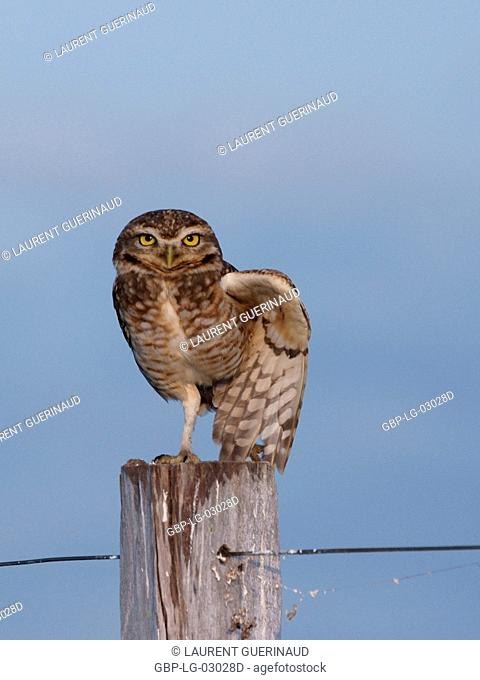 Ave, Owl Bad road, Pantanal, Mato Grosso do Sul, Brazil