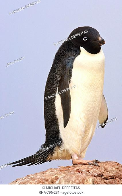 Adelie penguin, Petermann Island, Antarctica, Polar Regions