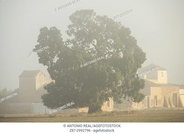 One-hundred year old Holm oak (Quercus ilex). Almansa. Albacete province. Spain