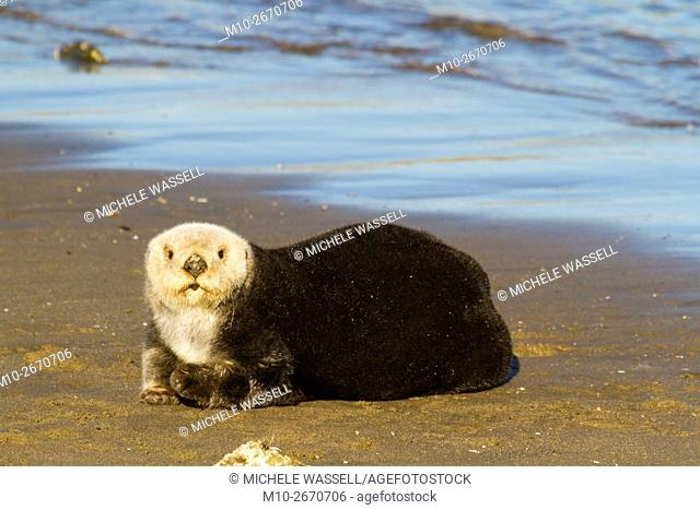 Sea Otter on the beach in Moss Landing, California, USA