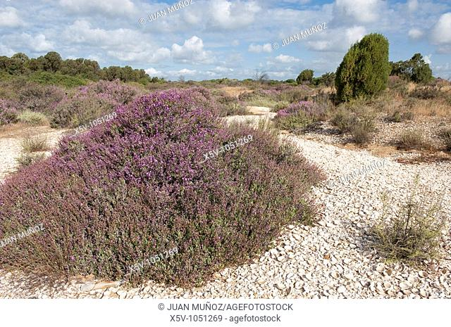 Flora of the Odiel Marshes Natural Park. Huelva. Andalusia. Spain