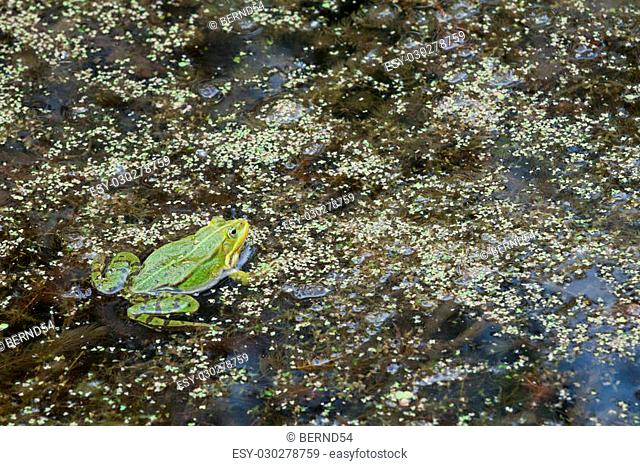 Frog in a pond with aquatic plants