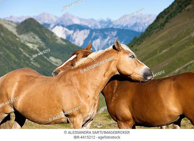 Haflinger horses grooming Kühtai, Tyrol, Austria