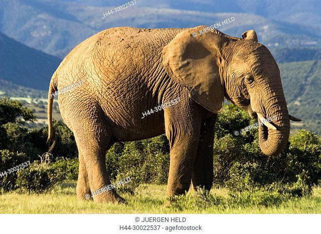 south africa, Addo Elephant National Park, Elephant