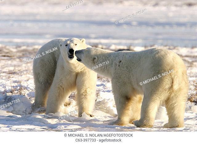 Adult male Polar Bears (Ursus maritimus) in ritualistic fighting stance (injuries are rare) near Churchill, Manitoba, Canada