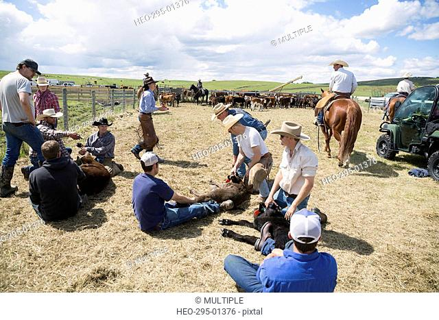Cattle ranchers vaccinating cows