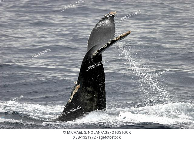 Humpback Whale Megaptera novaeangliae on the Gorda Banks in the southern Gulf of California Sea of Cortez, Mexico