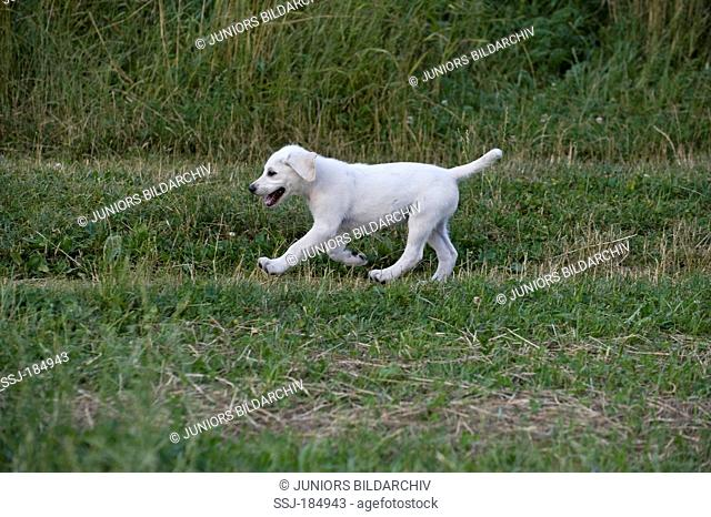 Mixed-breed dog, Labarador Mix. Puppy (9 weeks old) running on a meadow
