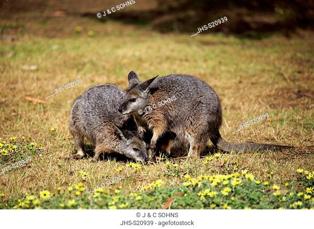 Tammar Wallaby, (Macropus eugenii), Dama-Wallaby, two adults feeding, Kangaroo Island, South Australia, Australia