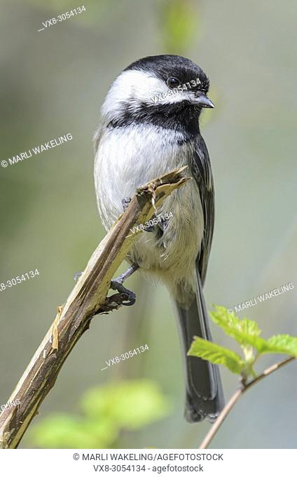Black-capped chickadee, Poecile atricapillus. When the black-capped chickadee issues its warning call, the number of notes it vocalizes describes the size of...