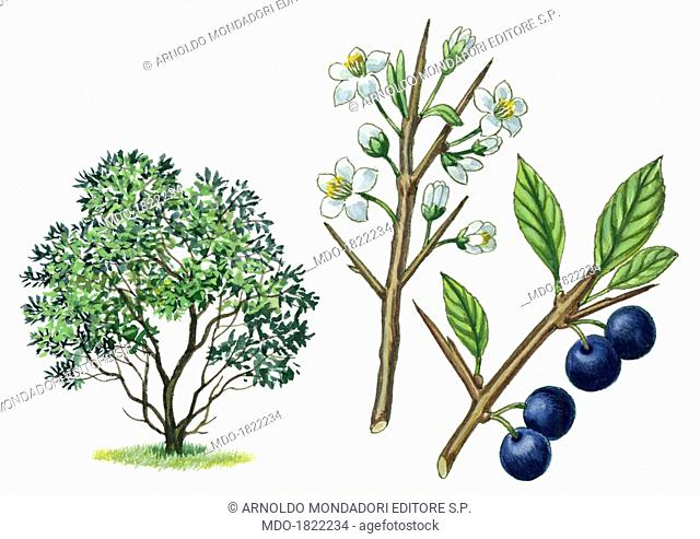 Blackthorn (Prunus spinosa Purpurea), by Giglioli E., 20th Century, ink and watercolour on paper. Whole artwork view. Drawing of the plant with flowers and...
