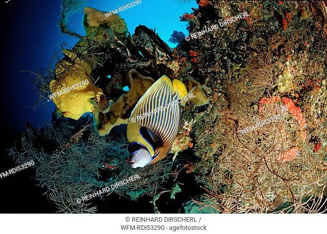 Giant frogfish and Emperor angelfish, Pomacanthus imperator, Wakatobi Dive Resort Sulawesi Indian Ocean Bandasea, Indonesia
