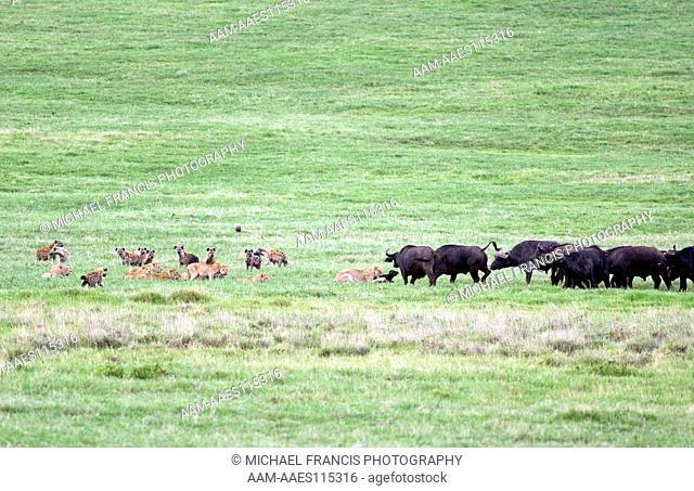 Cape Buffalo (Syncerus c. caffer), Spotted 'Laughing' Hyena (Crocuta crocuta), Lion (Panthera leo), attacking young calf, Ngorongoro Crater, Tanzania