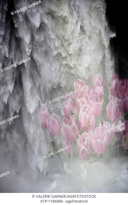 This vertical abstract natural photo is a large rushing waterfall with very pale pink tulips superimposed into the falls very lightly to have the affect of...