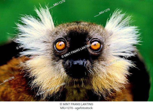 Female black lemur, Eulemur macaco macaco, Madagascar
