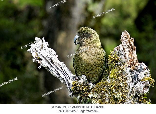 Kea (Nestor notabilis) sitting on mossy tree trunk, Arthur's Pass National Park, New Zealand | usage worldwide. - /New Zealand