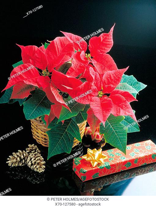 Poisettia and Christmas gifts