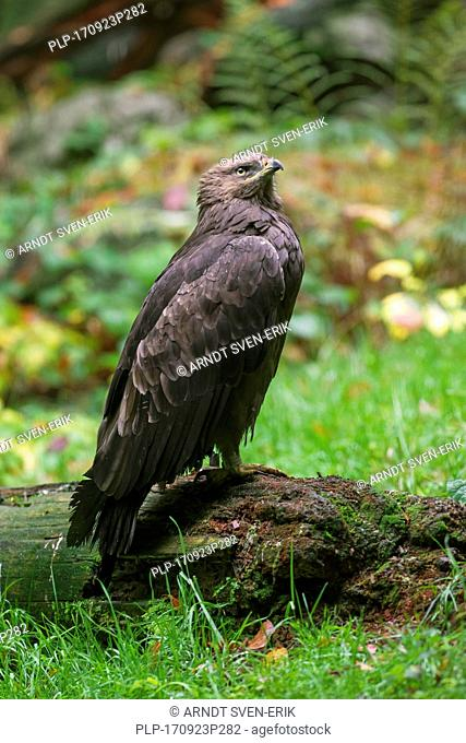 Lesser spotted eagle (Clanga pomarina / Aquila pomarina) migratory bird of prey native to Central and Eastern Europe