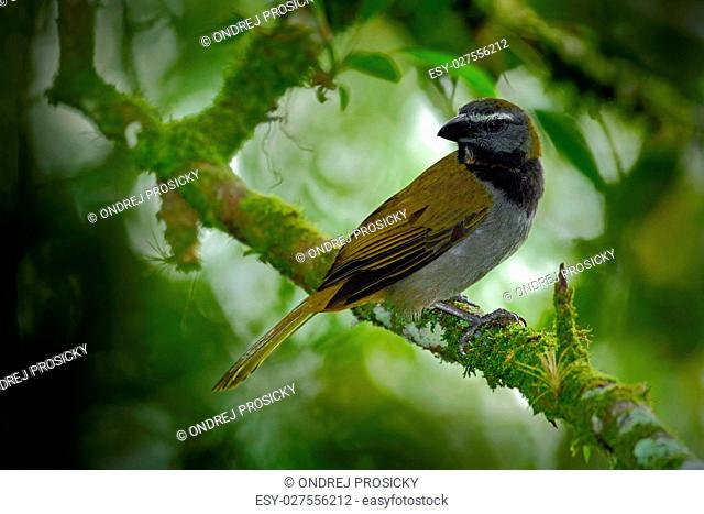 Exotic bird. Buff-throated Saltator, Saltator maximus, sitting o