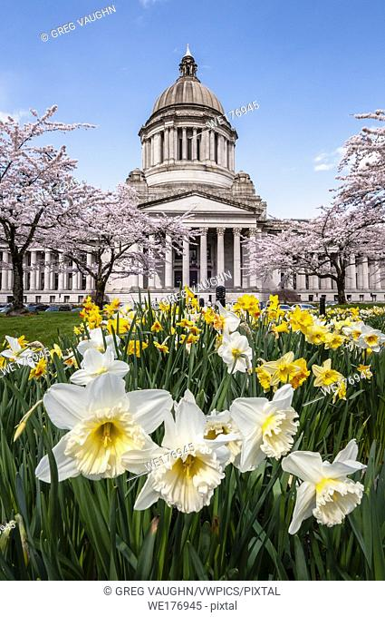 State Capitol Legislative Building with blooming daffodils and cherry trees in Olympia, Washington