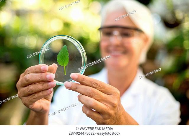 Female scientist examining leaf on petri dish