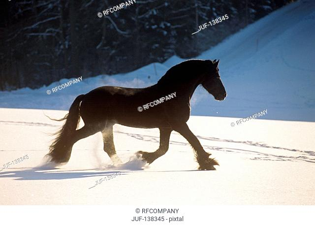 friesian horse - trotting in snow