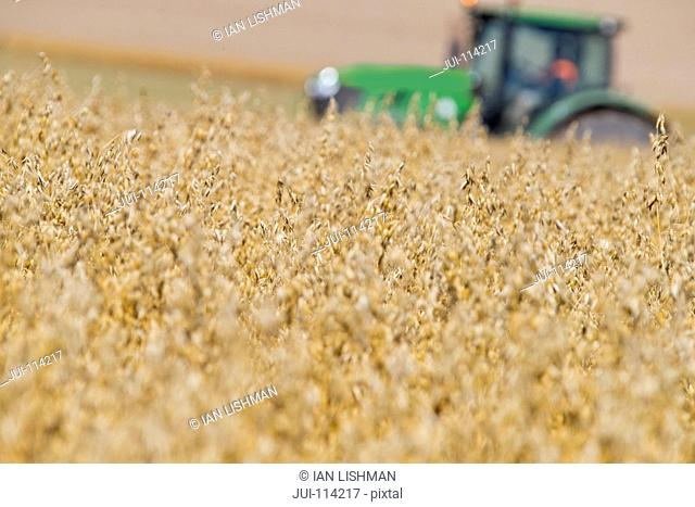 Oat Crop In Foreground With Tractor At Work In Background