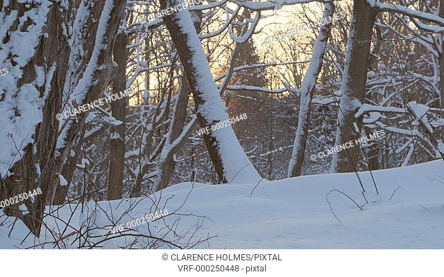 Slider shot showing sunrise through snow covered forest trees on a winter morning