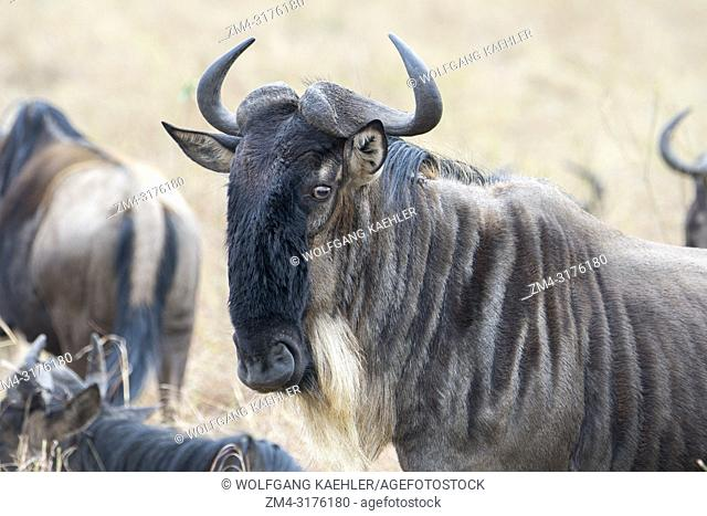 Close-up of a Wildebeest, also called gnus or wildebai, in the grasslands of the Masai Mara in Kenya