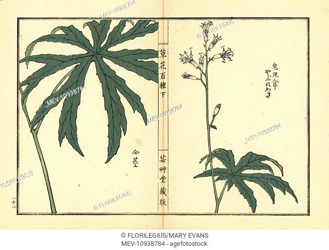 Shredded umbrella plant, Syneilesis palmata. Handcolored woodblock print by Kono Bairei from Kusa Bana Hyakushu (One Hundred Varieties of Flowers), Tokyo