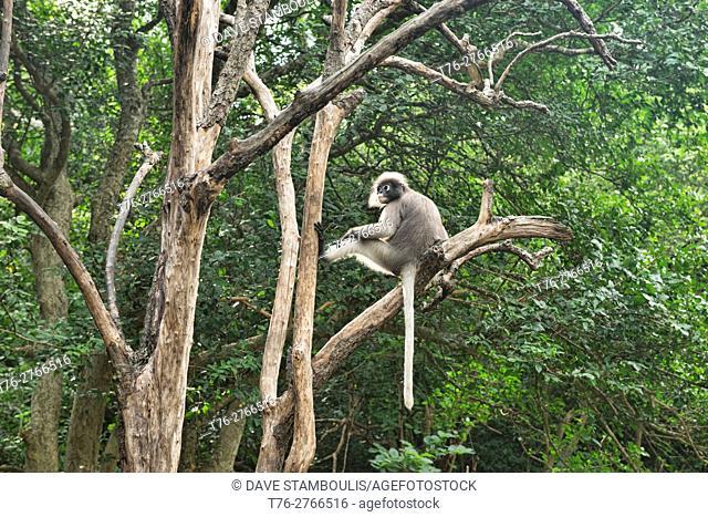 Dusky langur (specatacled leaf monkey) in a tree, Prachuap Khiri Khan, Thailand