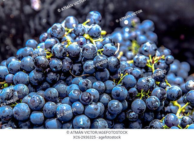 macro detail of black grape clusters piled up in a basket