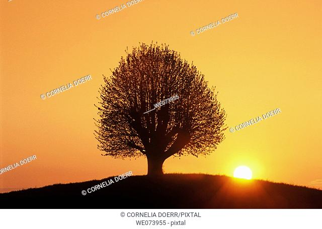 Beech tree at sunrise near Bern, Switzerland