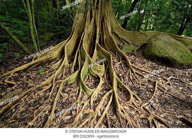 Buttress roots of the Strangler Fig (Ficus americana subgenus Urostigma), Rincon de la Vieja National Park, Guanacaste, Costa Rica, Central America